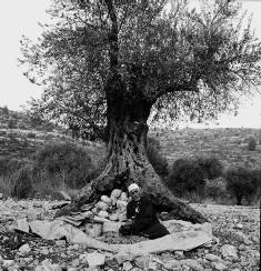 malaysia-olivetree